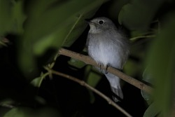 Seen roosting within the foliage of a tree, Red-throated Flycatcher, Ficedula albicilla , Kaeng Krachan National Park, Thailand
