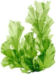 seeweed anaaosa botanical specimen