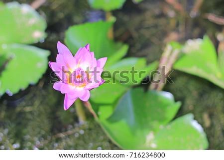 Selected focus, Pink lotus with green lotus leaf