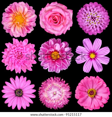Selection of Pink White Flowers Isolated on Black. Nine Flowers - Daisy, Strawflower, Zinnia, Cosmea, Chrysanthemum, Iberis, Rose, Dahlia