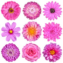 Selection of Pink White Flowers Isolated on White. Nine Flowers - Daisy, Strawflower, Zinnia, Cosmea, Chrysanthemum, Iberis, Rose, Dahlia