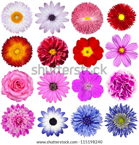 Selection of Various Flowers Isolated on White Background. Red, Pink, Purple, White Colors including rose, dahlia, marigold, zinnia, straw flower, sunflower, daisy, primrose
