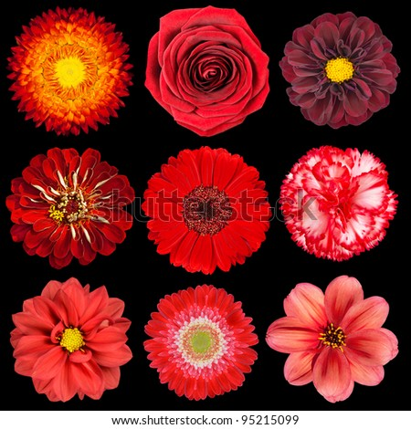 Selection of Various Red Flowers Isolated on Black Background. Set of Nine Dahlia, Gerber, Daisy, Carnation, Rose, Zinnia Flowers