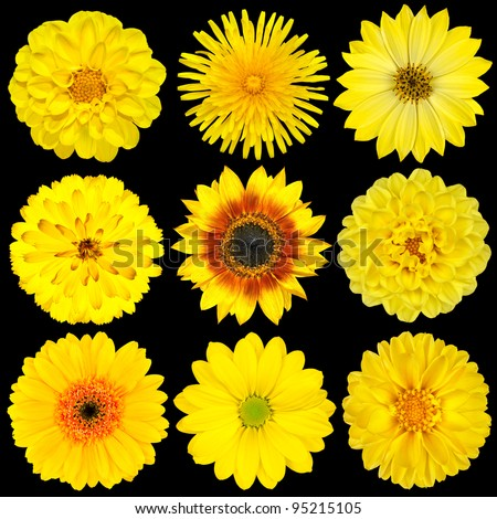 Selection of Yellow Flowers Isolated on Black Background. Various set of Dahlia, Dandelion, Daisy, Gerber, Sunflower, Marigold Flowers