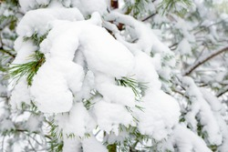 Selective and soft focus of snow drifts on green spruce branches. Concept of winter and walks in nature and in the Park. The falling snow and frosty weather. Meteorological forecast for snowfall