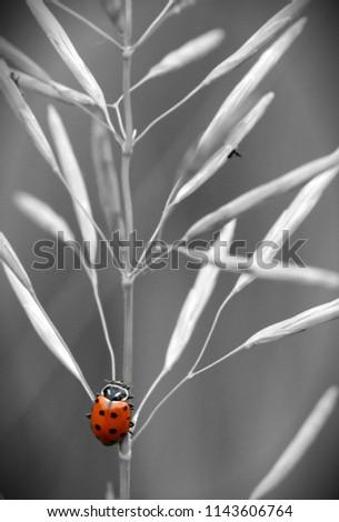 selective color ladybug #1143606764