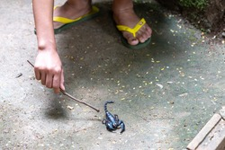 selective focus A big black scorpion and a mischievous boy's hand use a branch to play with a scorpion. Poisonous insects during the rainy season. Concept. Warning. Danger from poisonous animals.