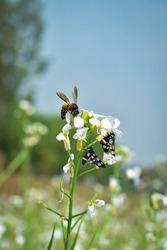 Selective Focus An apis dorsata bee and tow Nine-spotted moth Collect Hanny form  bluish white Radish Flowers .Also a Blue White Sky Spoted in Spring season's Sunlight