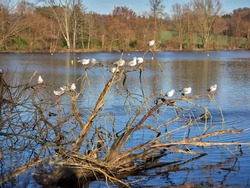 Selective focus and Silvery gulls perched on a tree lying in a pond. Water birds at the Abtskuecher Teich pond in the German city of Heiligenhaus. Defocused background