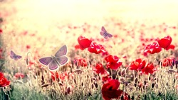 Selective focus and soft focus on butterfly in meadow of poppy - red poppy flowers