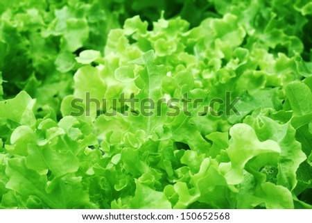 selective focus and wide aperture shallow depth of field on beautiful lettuce outdoors in hydroponics green house