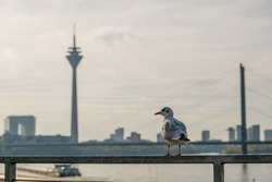 Selective focus at bird on railing and  defocus background of downtown district, Rhein tower, suspension bridge and Rhine River golden sunset sky in Düsseldorf, Germany.