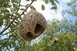 Selective focus bird nest hanging on tree. Sky, trees background. Bird nest, nest, structure concept.