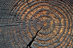 Selective focus burnt resinous wood glowing texture of rough surface felled tree weathered with annual rings. Concept of long life longevity aging. Background with copyspace of black and orange stump.