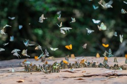 Selective focus Butterflies on the ground and flying in nature background.Blurred Tailed Jay butterflies (Graphium agamemnon) in green forest.