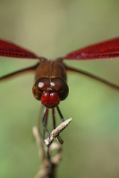 Selective Focus Close up of a red dragonfly. dragonfly image is wild with blur background. Dragonfly isolated. Dragonflies on tree trunks, Red Dragonfly perched on tree trunk, with blurred background.