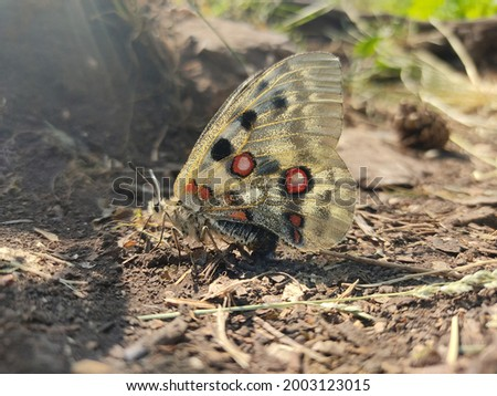 Selective focus closeup of butterfly with big vibrant wings on ground in sunlight o n blurred background  Foto stock ©