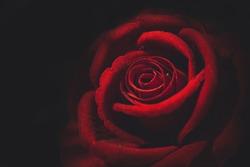selective focus.Closeup red paper rose.vintage tone