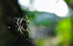 Selective focus.Darwin's bark spider on a webs with blur background.Darwin's bark spider is an orb-weaver spider that produces the largest known orb webs.Shot were noise and film grain.