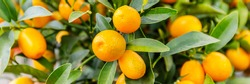Selective focus. Fortunella margarita Kumquats ( or cumquats )  foliage and Oval fruits on kumquat  dwarf  tree, banner