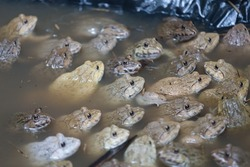 selective focus Frogs soaked in water at a frog farm