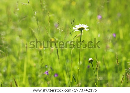 Selective focus green meadow with grass and wildflowers on summer day