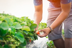 Selective focus hand of a young man picking a strawberry from the plant