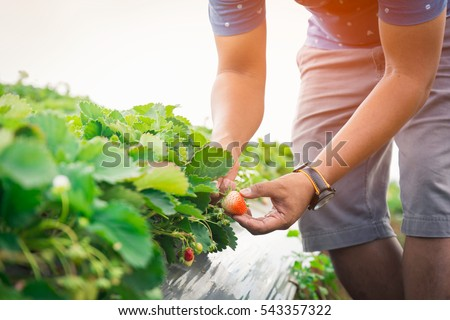 Selective focus hand of a young man picking a strawberry from the plant #543357322