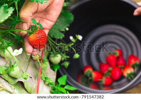 Selective focus hand of a young man picking a strawberry from the plant,copy space. #791547382