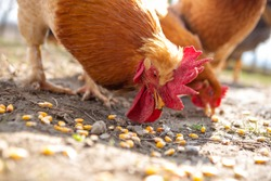 Selective focus head of a rooster that eats corn kernels that are spilled on the ground. Copy Space. Agriculture.