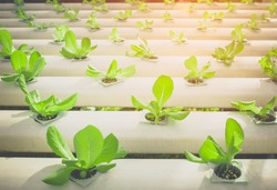 Selective focus hydroponic vegetable cultivation farm.still life tone with lens fare.