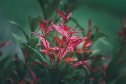 Selective focus image of the Pucuk Merah Red shoots leaves or Syzygium oleana thrives(iki seng pucuk merah)
