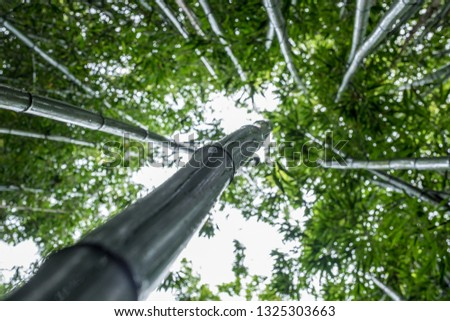 Selective focus, Looking up at fantastic lush green bamboo  forest canopy. Nature concept. #1325303663