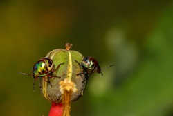 Selective focus Macro image of a pair of tiny jewel bug siting on a flower bud