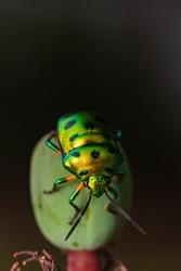 Selective focus Macro image of a tiny jewel bug siting on a flower bud