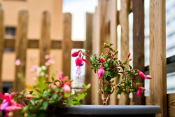 Selective focus of a flower in a balcony, Hardy fuchsia, Fuchsia magellanica.