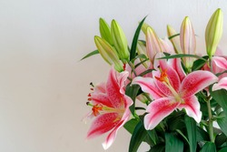 Selective focus of a large prominent flowers, Purple pink Lily with green leaves on white wall, Lilium (Lilies) is a genus of herbaceous flowering plants growing from bulbs, Nature floral background.