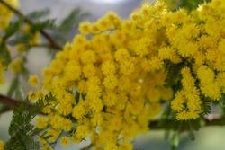 Selective Focus of Acacia pycnantha flowers (mimosa tree, golden wattle) bright yellow flowers, coojong, golden wreath wattle, orange wattle, blue-leafed wattle, acacia saligna.
