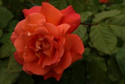 Selective focus of an orange rose in an urban park.Blooming orange rose growing in the garden close up .Idea for postcards, greetings, invitations, posters, wedding and Birthday decoration, background