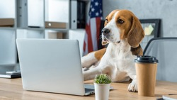 selective focus of beagle sitting on table with disposable coffee cup and laptop in modern office
