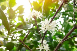 Selective focus of beautiful blooming or flowering white coffee tree flowers of liberica kape barako variety at morning in the Philippines.