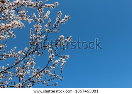 Selective focus of beautiful branches of white Cherry blossoms on the tree under blue sky,Beautiful Sakura flowers during spring season in the park, Flora pattern texture.bahar dalları. tomurcuk.bahar Stok fotoğraf ©