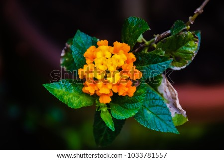 Shutterstock Selective focus of Beautiful Colorful Hedge Flower, Lantana camara Linn. Summer flowers series, beautiful Lantana camara. Lantana or Wild sage or Cloth of gold or Lantana camara flower in the garden