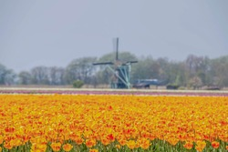 Selective focus of beautiful tulips on the field during spring season with blurred Dutch windmill as backdrop, Colourful yellow orange flowers in the garden, Nature flora background, Netherlands.