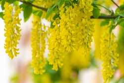 Selective focus of blooming Laburnum anagyroides (Golden chain or Golden rain) Close up of bunch yellow flowers swag down the tree, Nature flora background.