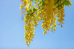Selective focus of blooming Laburnum anagyroides (Golden chain or Golden rain) Close up of bunch yellow flowers swag down from the tree with blue sky as backdrop, Nature flora background.