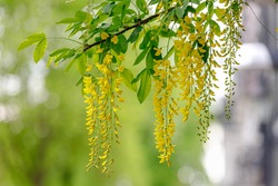 Selective focus of blooming Laburnum anagyroides (Golden chain or Golden rain) Close up of bunch yellow flowers swag down from the tree, Nature flora background.