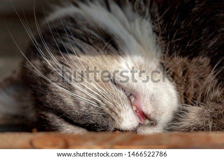 Selective focus of cat's face while sleeping in the afternoon, Close up open mouth and whiskers of puss. #1466522786