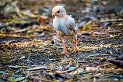 Selective focus of cute little chick on ground