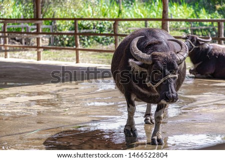 Selective focus of female pregnant buffalo walking in the open farm, Countryside landscape with asian buffalo in farmland, Is a large bovid originating in the Indian subcontinent, Southeast Asia. #1466522804